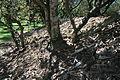 Banksia oblongifolia lignotuber2.JPG