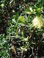 Banksia sessilis var. cygnorum-8.jpg