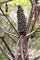 Banksia spinulosa fruit 2 (6957252209).jpg