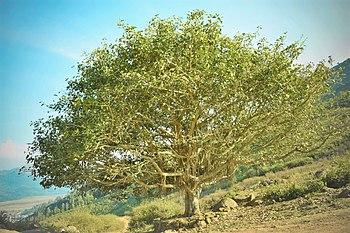 Banyan fig tree in Andhra Pradesh, 2016.jpg