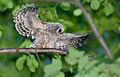 Barred-owl-chick-53.jpg