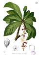 Barringtonia racemosa Blanco2.240.png