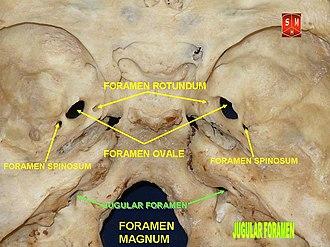 Jugular foramen - Image: Base of skull 18