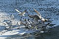Bassin des Morts gelé, 2012-02-11, mouettes rieuses 04.jpg