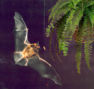 Echolocating bats adjust their vocalizations to catch insects against a changing environmental background. Bat flying at night.png
