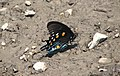 Battus philenor (pipevine swallowtail butterfly) (Mercer County, West Virginia, USA) 2 (17062900988).jpg