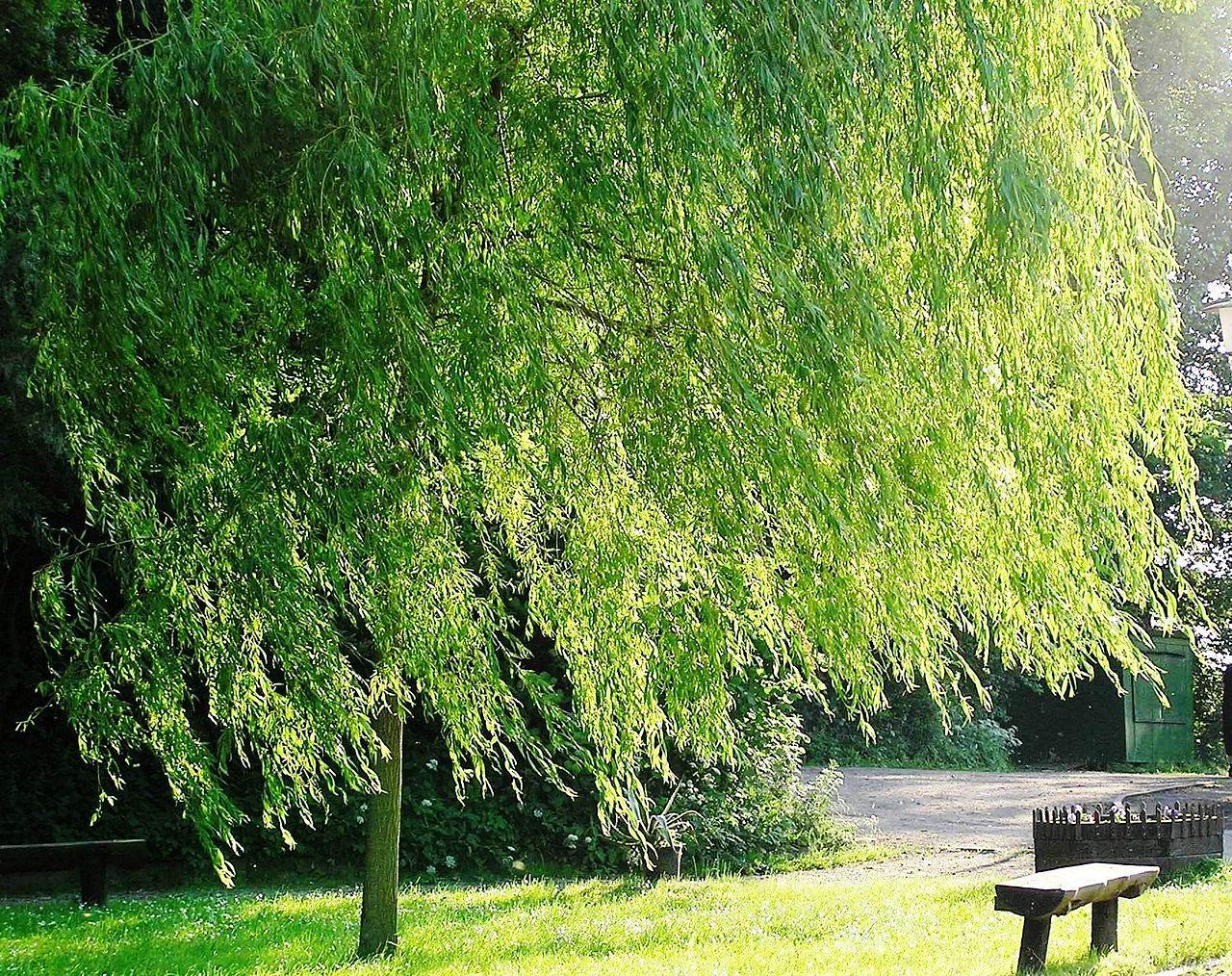 девчата дерево ветла фото интернете