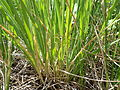 Beckmannia syzigachne (7450523890).jpg