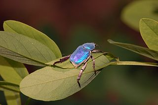 <i>Hoplia coerulea</i> species of beetle