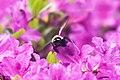 Bee (26931552271).jpg