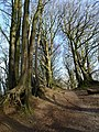 Beech trees, Core Hill - geograph.org.uk - 753057.jpg