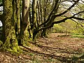 Beeches by Pepperdon Down - geograph.org.uk - 1290988.jpg