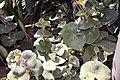 Begonia venosa 5zz.jpg