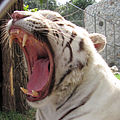 Belgrade Zoo white tiger.jpg