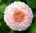 Bellis perennis Tasso® Strawberries & Cream 0zz.jpg