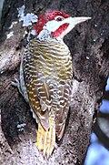 Bennett's Woodpecker, Campethera bennettii at Marakele National Park, Limpopo, South Africa (8329369098).jpg