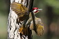 Bennett's Woodpecker, Campethera bennettii at Marakele National Park, Limpopo, South Africa ( male displaying) (16093228688).jpg