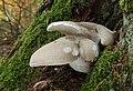 Berindeter Seitling Pleurotus dryinus.jpg