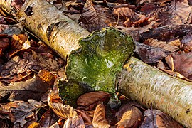 Berkenzwam (Piptoporus betulinus) (d.j.b.) 10.jpg