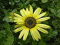Berkheya radula (Compositae) flower.JPG
