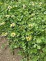 Berkheya radula (Compositae) plant.JPG