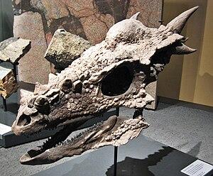 Marginocephalia - Skull of Stygimoloch spinifer