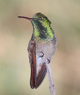 Berylline Hummingbird (cropped)