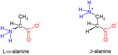 β-alanine, an example of a β amino acid. The amino group attaches not to the α carbon but to the β carbon, which in this case is a methylene group.