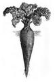 Betterave rouge de Dell Vilmorin-Andrieux 1883.png