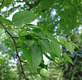 Betula grossa foliage.jpg