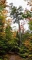 Big white pine (Pinus strobus) in the Estivant Pines Sanctuary.jpg
