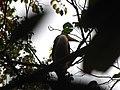 Bird White-throated Brown Hornbill Anorrhinus austeni IMG 9075 12.jpg