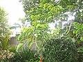 Bischofia javanica Blume (AM AK316949-3).jpg