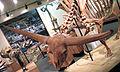 Bison latifrons fossil buffalo (Pleistocene; North America) 6 (15257948378).jpg