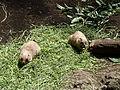 Black-tailed Prairie Dog @ Ueno Zoo (9409822646).jpg