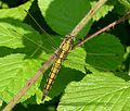Black-tailed Skimmer. Orthetrum cancellatum. Female - Flickr - gailhampshire.jpg