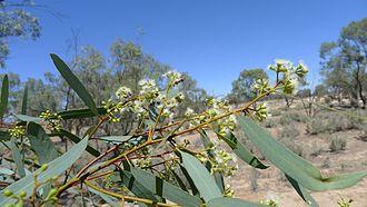Eucalyptus largiflorens - Image: Black Box foliage and flowers (15299115414)