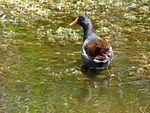 Black Point Wildlife Drive, Merritt Island FL - Flickr - Rusty Clark (228).jpg
