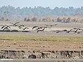 Black Stork (Ciconia nigra) (32311825554).jpg