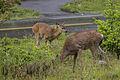 Black Tailed Deer (14412898207).jpg