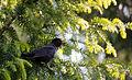 Blackbird sitting.jpg