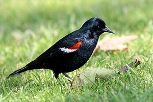 Blackbird tricolored male summer california monte-m-taylor.jpg