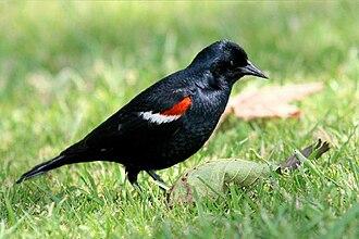 Tricolored blackbird - A male tricolored blackbird in California, United States