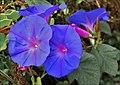 Blaue Prunkwinde (Ipomoea nil) (30702867746).jpg