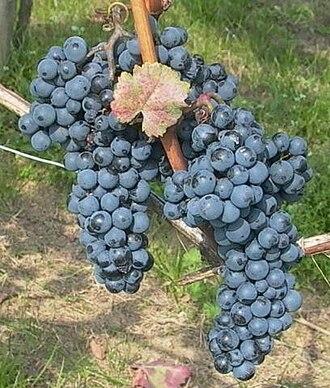 Blaufränkisch - Blaufränkisch grapes growing in Burgenland, Austria