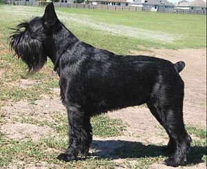 Black Standard Schnauzer female, cropped ears,...