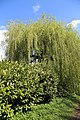 Blossoming laurel with willow on Downhall Road, Matching Green, Essex, England 01.jpg