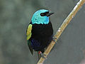 Blue-necked Tanager RWD3.jpg