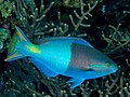 Bluepatch parrotfish terminal male (Scarus forsteni) (28822190747).jpg
