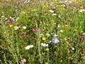 Blumenwiese2.jpg